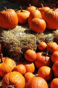 lots_of_pumpkins_by_seastar114-d4ax540